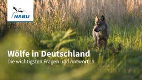 Wölfe in Deutschland - Die wichtigsten Fragen und Antworten